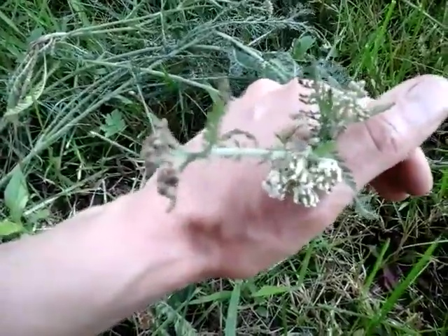 Plant Profile Yarrow: How I Use it to Stop Biting Bugs!